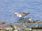 Sandpiper and barnacles