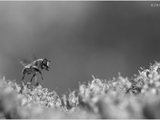 Hoverfly (B&W)