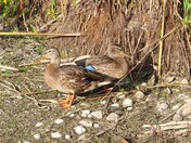 Blue Winged Teal Duck