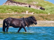 Wild Horse In The Watering Hole