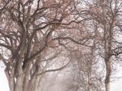 April Fog - Winnipeg Elms