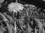 Dandilions in black & white