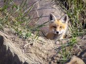 peek-a-boo Fox Kit