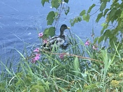The beauty and tranquility of our beautiful Ducks.