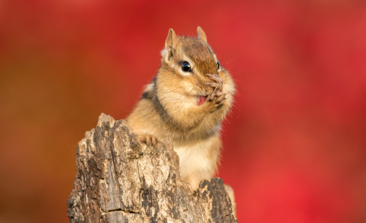 Chipmunk with Autumn Colour