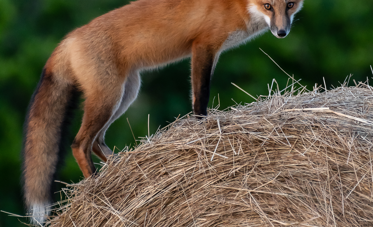 Fox on the farm