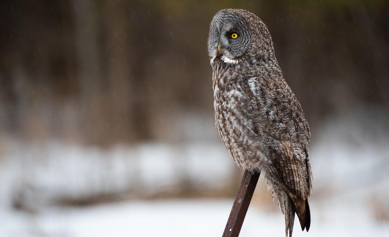 Great grey owl perching