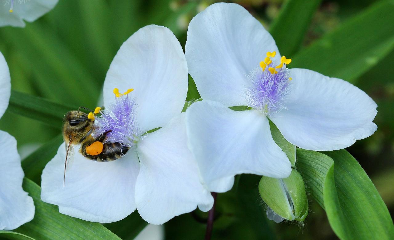 Honey Bee and Spiderwort
