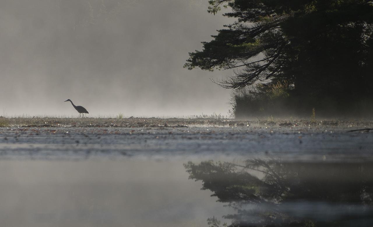 Heron on a misty pond