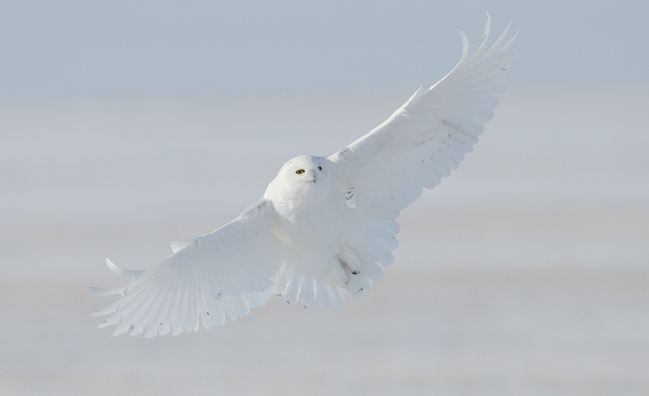 Snowy owl coming into land.