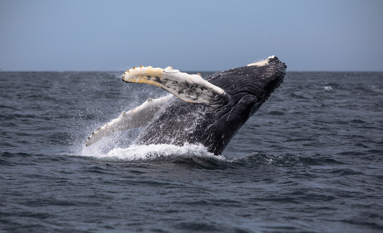Playful Humpback Whale