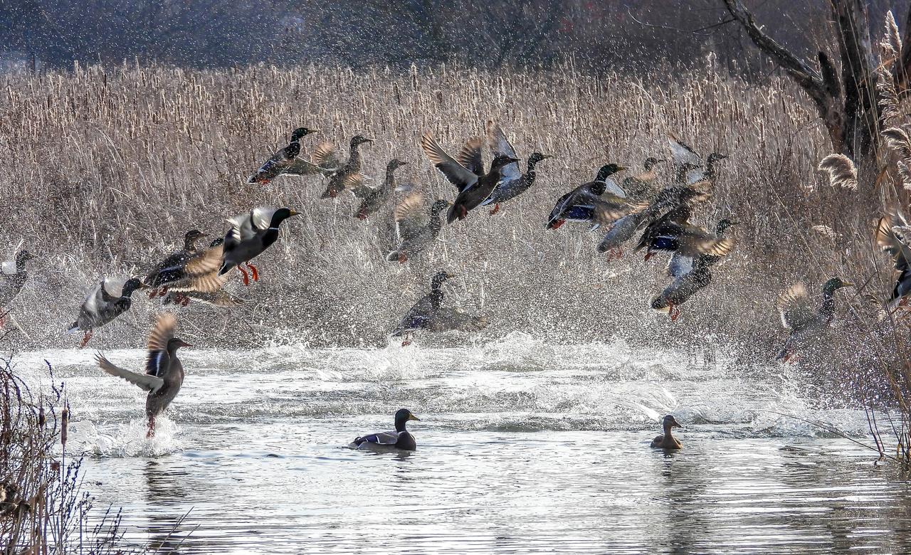 Flight of the Mallards