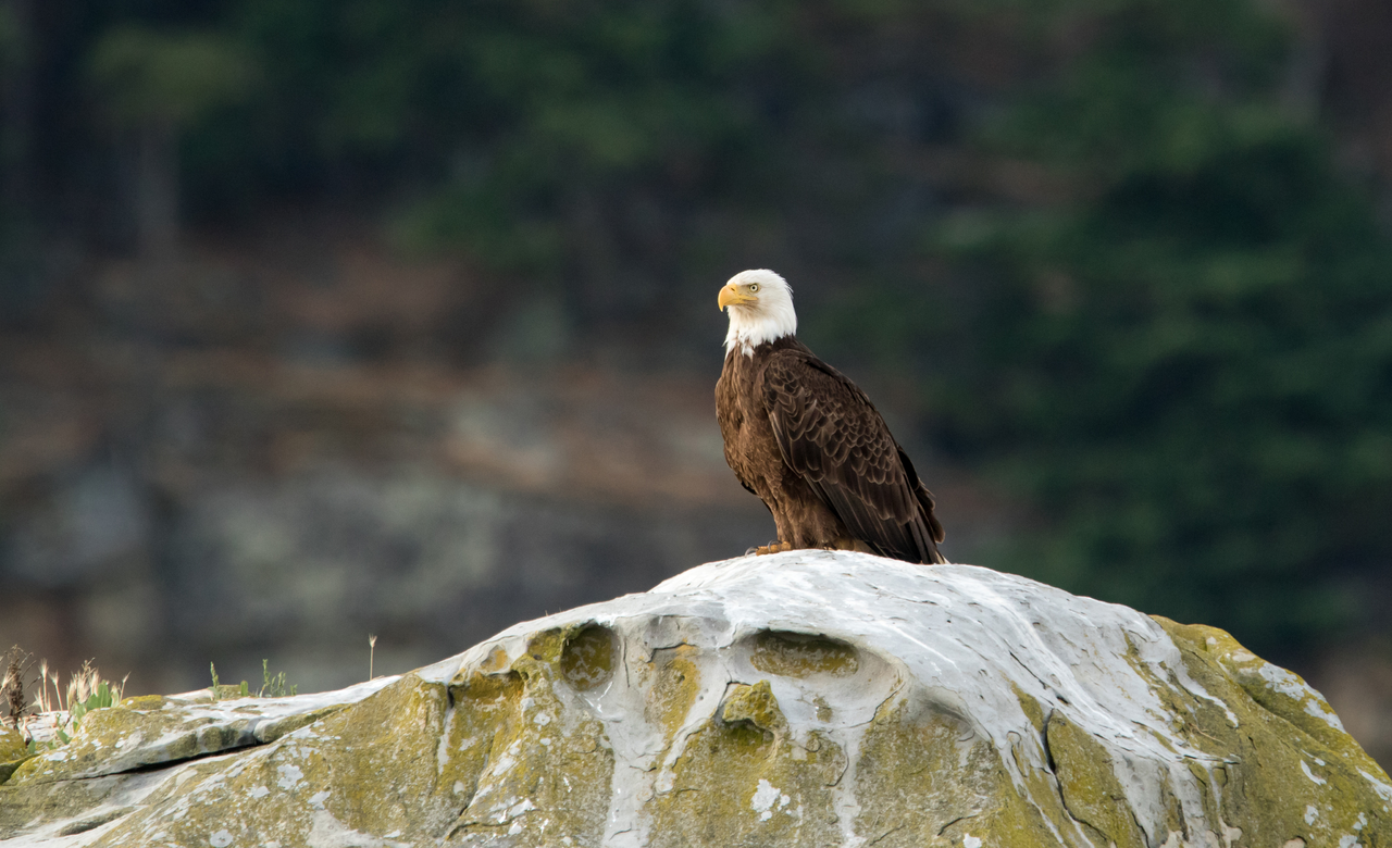 Bald Eagle on the Rocks