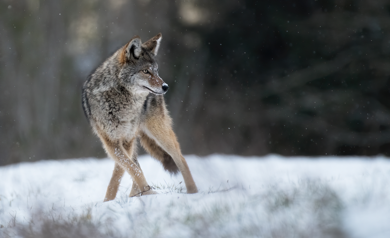Snowy Coyote