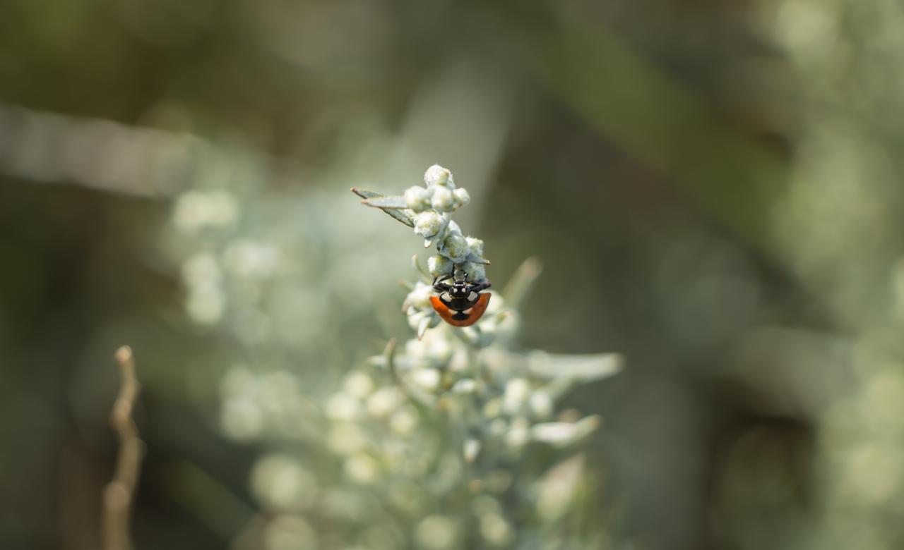 Ladybug on Prairie Sagewort