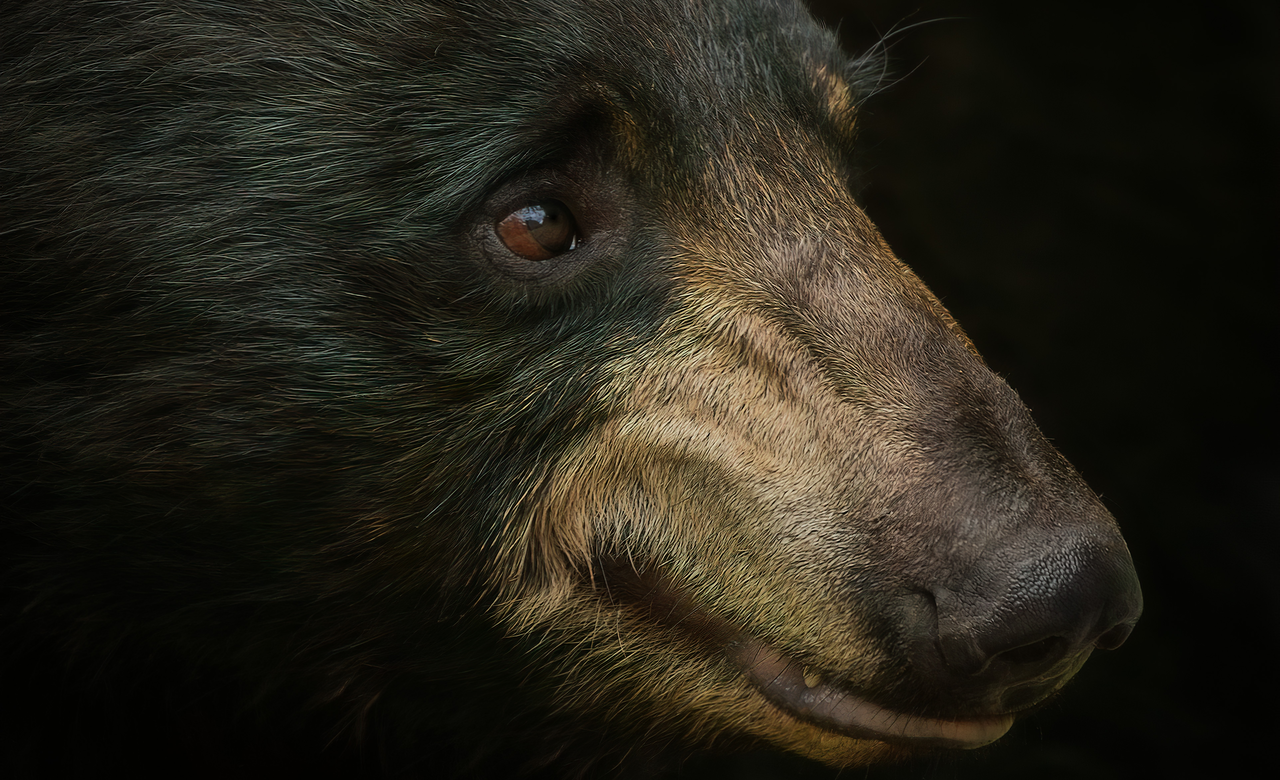 beautiful Portrait of Black Bear