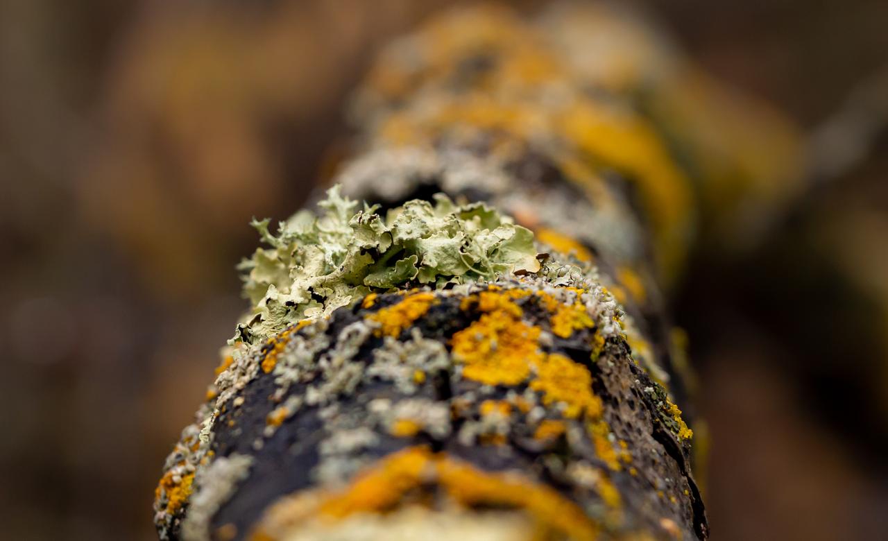 Multi-coloured lichen