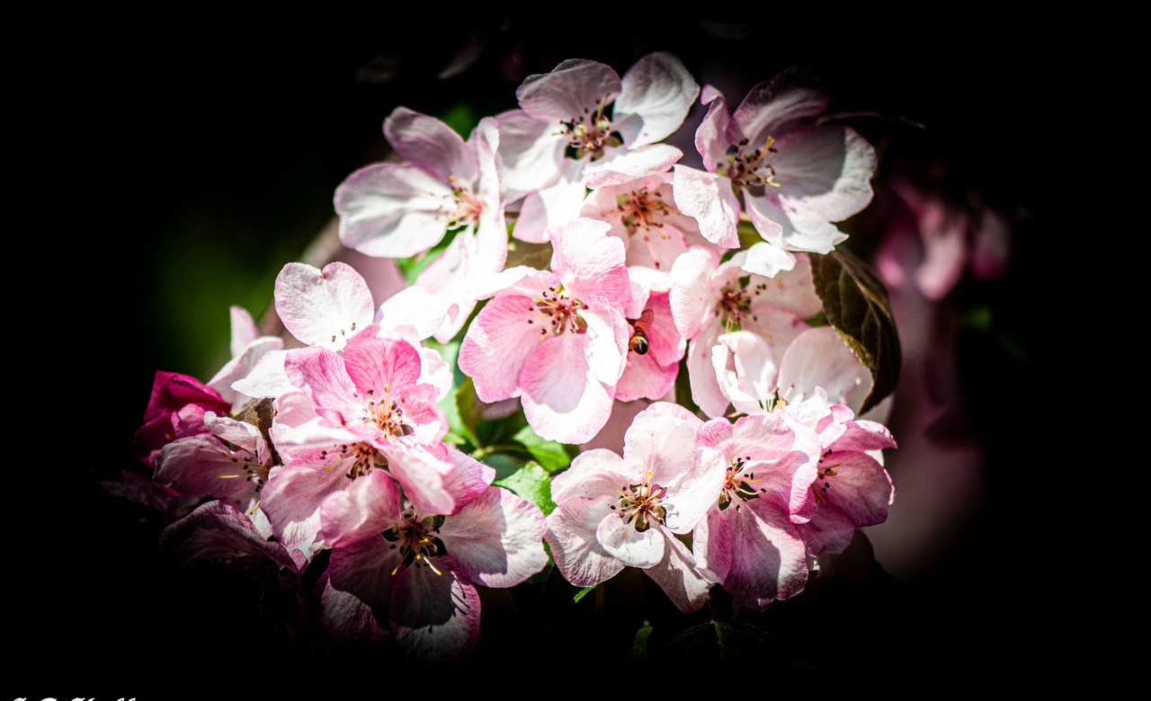 English Hawthorn Blossoms