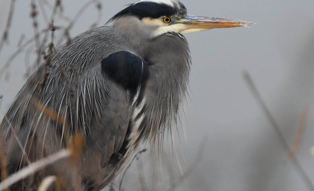 Cold Day with a Great Blue Heron