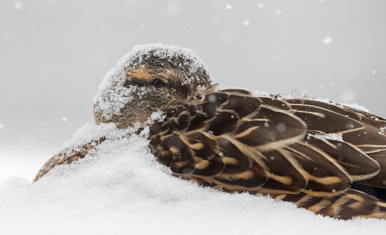 Mallard Enduring The Snow.