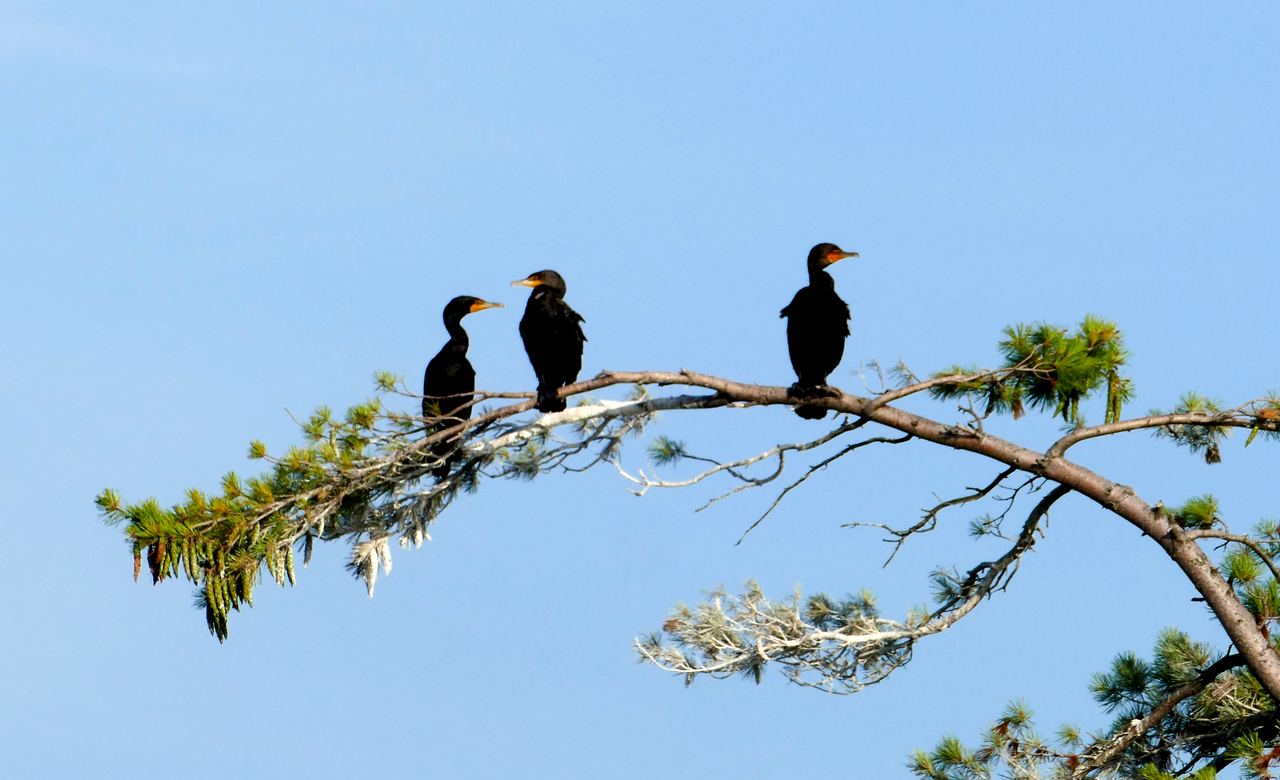 Cormorants Food Watch