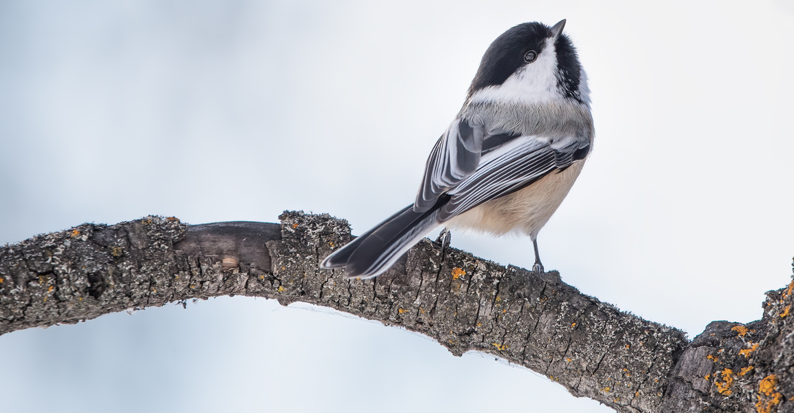 Black-capped chickadee power pose.