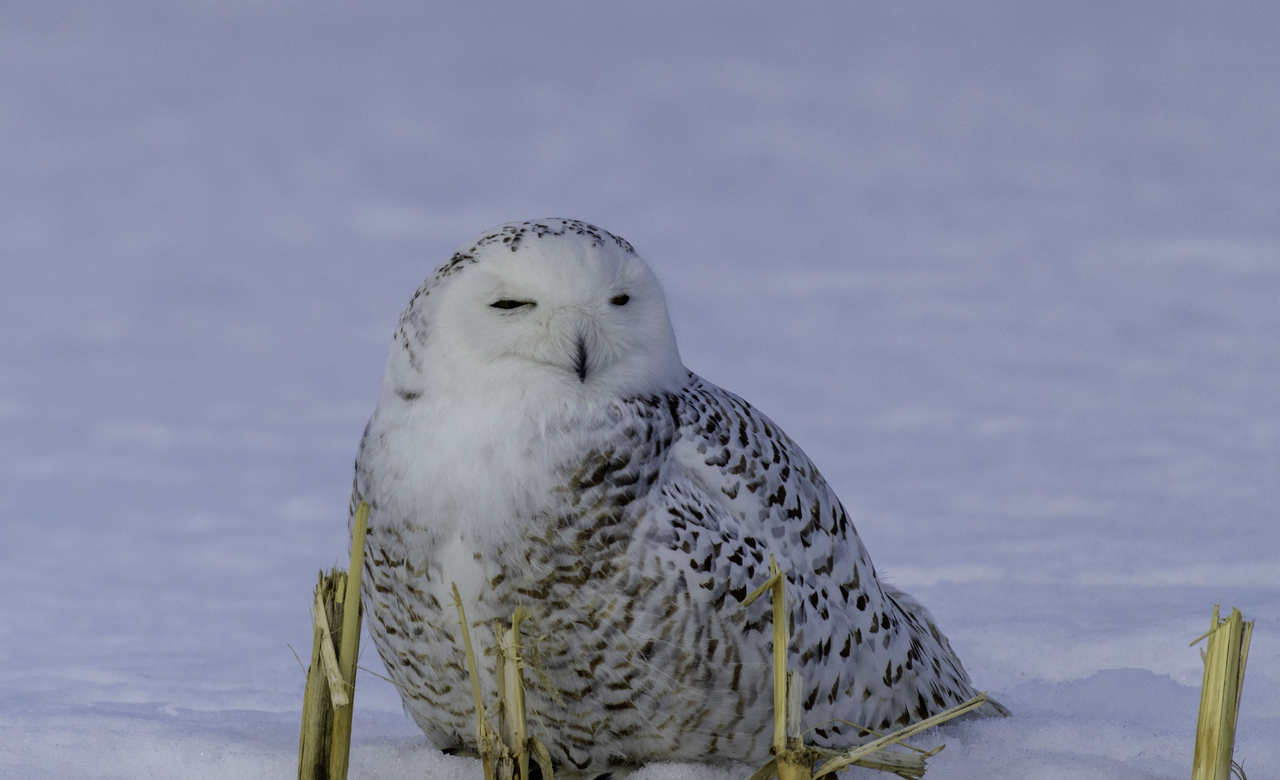 Snowy owl resting after lunch