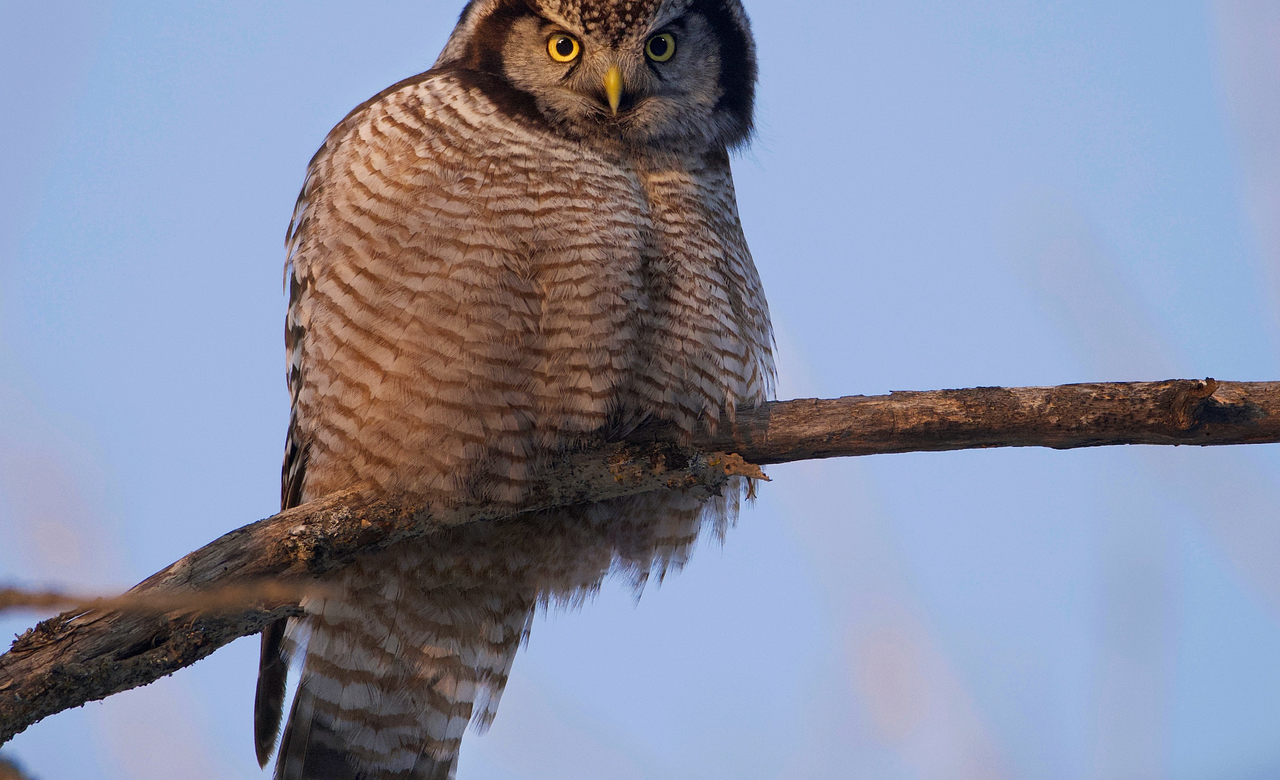 Northern Hawk Owl in golden light