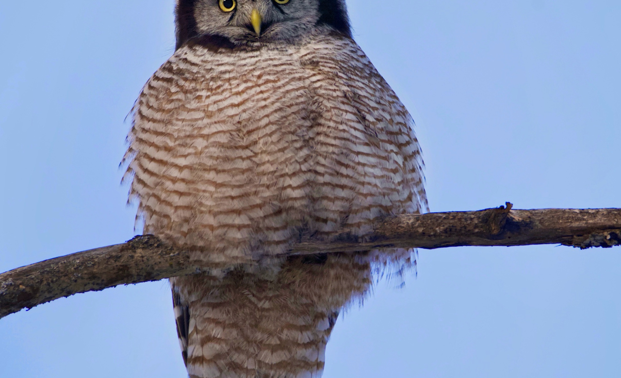 Northern Hawk Owl.    Piercing glare