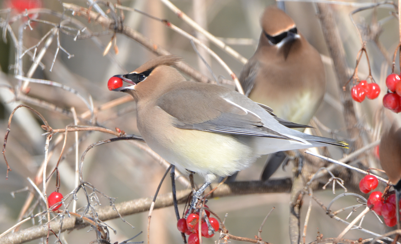 Waxwings eating red berry
