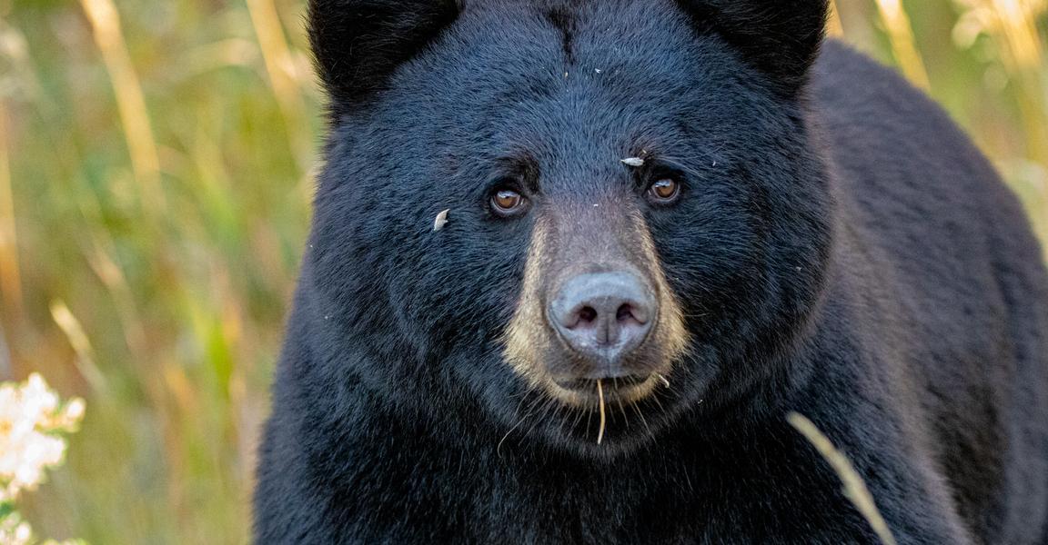 Yukon black bear