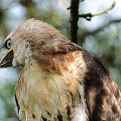 Red-tailed hawk with a grump