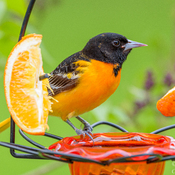 Baltimore Orioles have returned