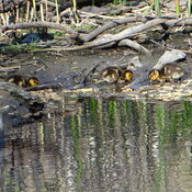 Baby Ducks @ High Park