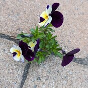 Pansies growing in the pavement