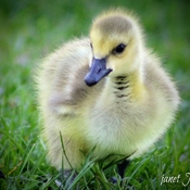 Goslings are so adorable