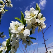pear blossoms blue skys