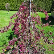 weeping crabapple tree