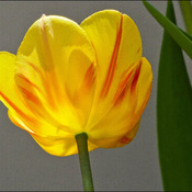 First tulip, Elliot Lake.