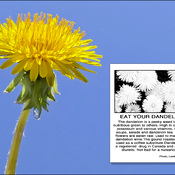 Dandelion, Elliot Lake.