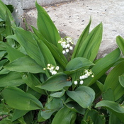 Lilies of the front steps
