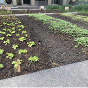 City sidewalk vegetable patch