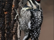 Yellow-bellied Sapsucker - April 09 Blog.jpg