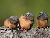 Northern Saw-whet Chicks