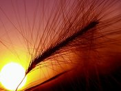 foxtail sunset.jpg