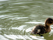 Water ripple with Baby duck