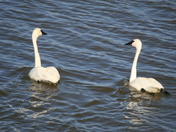 TRUMPETER SWANS/