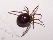 Brown House Spider.jpg