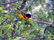 BALTIMORE (NORTHERN) ORIOLE