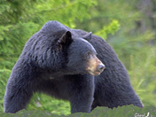 Black Bear Profile.jpg
